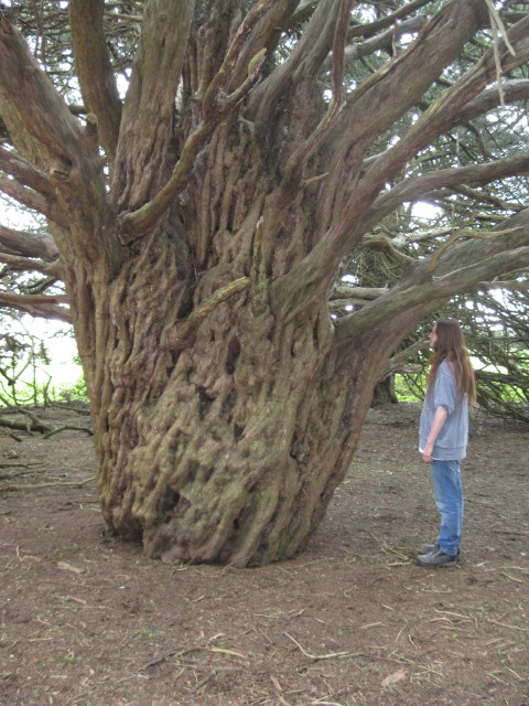 Very ancient Yew tree in the UK