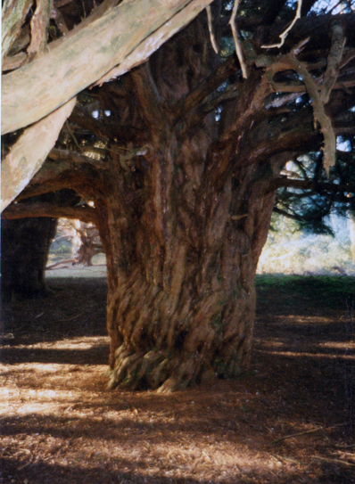 yew tree england