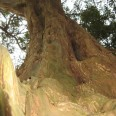 bark of Yew tree at Breamor