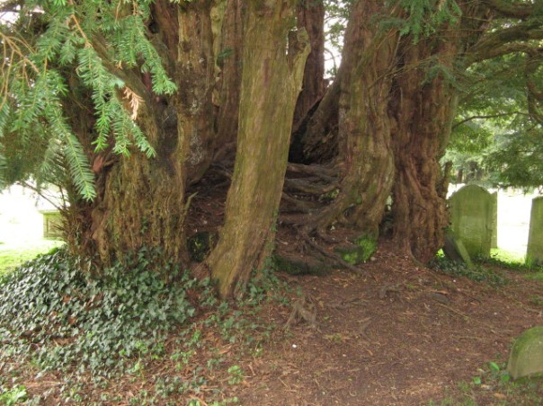 Yew tree at Breamor